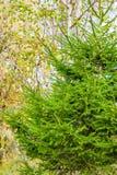 Árbol conífero, árbol de abeto en un fondo de los árboles de abedul Foto de archivo