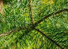Árbol conífero de la rama Fotos de archivo libres de regalías