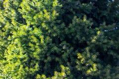 Árbol conífero hermoso en fondo natural fresco del bosque foto de archivo libre de regalías