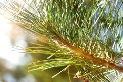 Árbol conífero hermoso en fondo natural fresco del bosque fotos de archivo