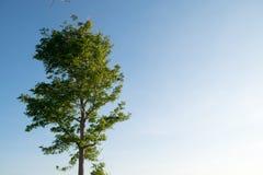 Árbol con el fondo del cielo azul Imágenes de archivo libres de regalías