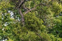 Árbol con el muérdago - viscum Foto de archivo