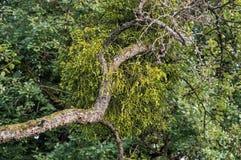 Árbol con el muérdago - viscum Imagen de archivo libre de regalías