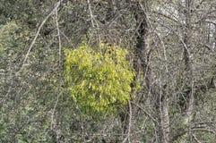 Árbol con el muérdago - viscum Imagen de archivo