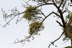 Árbol con el muérdago - viscum Imagenes de archivo
