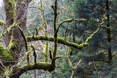Árbol con el musgo Foto de archivo libre de regalías