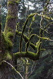 Árbol con el musgo Fotos de archivo