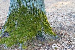 Árbol con el musgo Fotografía de archivo libre de regalías