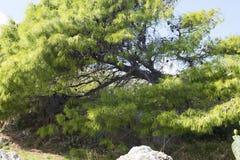 Árbol con el primer espinoso de las ramas imagen de archivo