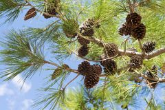 Árbol con el primer espinoso de las ramas fotografía de archivo libre de regalías