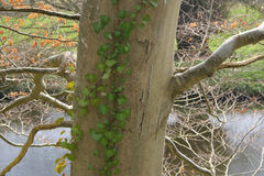 Árbol con la enredadera contra fondo del río y de la hierba verde Foto de archivo libre de regalías