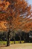 Árbol con la hoja roja en caída Fotos de archivo libres de regalías