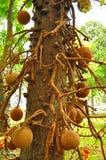 Árbol con las bolas decorativas naturales Imagen de archivo