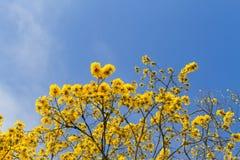 Árbol con las flores amarillas debajo del cielo azul foto de archivo