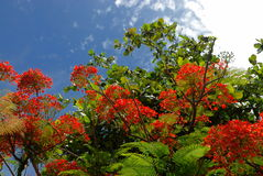Árbol con las flores rojas Fotos de archivo