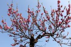 Árbol con las flores rosadas Fotografía de archivo libre de regalías