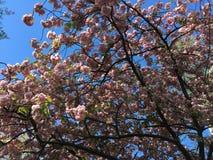 Árbol con las flores rosadas Imagen de archivo libre de regalías