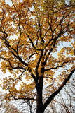 Árbol con las hojas de oro Imagen de archivo