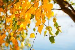 Árbol con las hojas de otoño amarillas Imagen de archivo