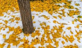 Árbol con las hojas del amarillo en la nieve Foto de archivo libre de regalías