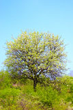 Árbol con las hojas del resorte Fotografía de archivo libre de regalías