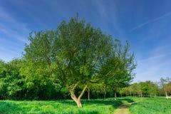 Árbol con las hojas del verde en la sol Imagenes de archivo