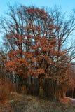 Árbol con las hojas marchitadas Imágenes de archivo libres de regalías