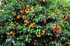 Árbol con las mandarinas Imágenes de archivo libres de regalías