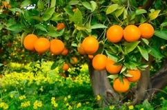 Árbol con las naranjas Imagen de archivo libre de regalías