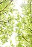 Árbol con las nuevas hojas aisladas sobre el cielo brillante Imagenes de archivo
