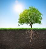 Árbol con las raíces Fotografía de archivo libre de regalías