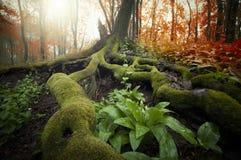 Árbol con las raíces enormes cubiertas con el musgo y las plantas verdes en un bosque hermoso en otoño Fotografía de archivo libre de regalías