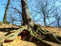 Árbol con las raíces evidentes fotografía de archivo