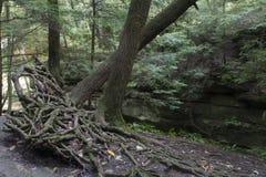 Árbol con las raíces expuestas foto de archivo