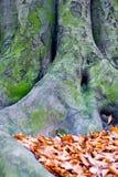 Árbol con las raíces grandes imagen de archivo