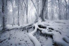 Árbol con las raíces grandes en bosque congelado encantado en invierno Fotos de archivo libres de regalías