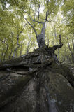 Árbol con las raíces grandes en el acantilado Foto de archivo libre de regalías