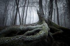 Árbol con las raíces grandes en invierno en bosque misterioso con niebla foto de archivo libre de regalías
