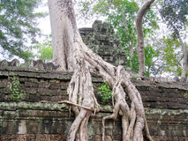 Árbol con las raíces grandes en las paredes de Angkor Wat Imagen de archivo