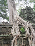 Árbol con las raíces grandes en las paredes de Angkor Wat Foto de archivo libre de regalías