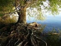 Árbol con las raíces sobre la tierra por la orilla del lago Foto de archivo libre de regalías