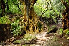 Árbol con las raíces y las escaleras en la selva Fotografía de archivo
