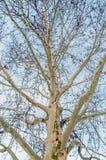 Árbol con las ramas separadas Fotografía de archivo libre de regalías