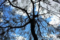 Árbol con las vainas Fotos de archivo libres de regalías