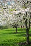 Árbol con los flores blancos de la primavera de la cereza en el jardín Fotografía de archivo