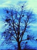 Árbol con los muérdagos Imagenes de archivo
