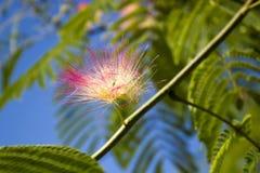 Árbol con una flor mullida Imagen de archivo libre de regalías