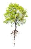 Árbol con una raíz Foto de archivo libre de regalías