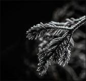 Árbol congelado de Navidad Fotografía de archivo libre de regalías