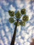 Árbol contra el altocumulus Fotos de archivo